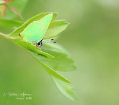 Green Hairstreak (~ **Barbara ** ~) Tags: butterfly bushes greenhairstreak green gold greenery wildlife tiny small copyright ambrosephotography canon7dii