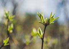 Spring (Astromanson) Tags: spring macro flowers dslr russia nikon green nature
