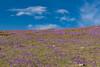 Krvavec (happy.apple) Tags: ambrožpodkrvavcem kranj slovenia si krvavec slovenija žafran crocus wildflowers flowers sky clouds landscape