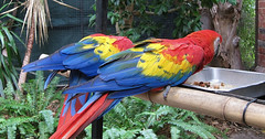 Living Rainbows (Mary Faith.) Tags: colourful macaw two feeding birds exotoc feathers adelaide zoo red yellow blue
