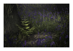 Where There's Light (Sandra Draper) Tags: d7100 rufford nottinghamshire bluebells newgrowth fern intheshade