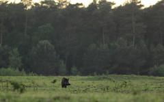 Wild Zwijn - Sus scrofa - Wild Boar (merijnloeve) Tags: wild zwijn sus scrofa boar veluwe veluwezoom kijken game varken oude reemst observatiepunt ede planken wambuis kijkpunt oud ge gemeente