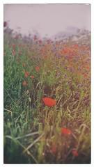 spring (Rino Alessandrini) Tags: nature grass meadow flower summer field springtime backgrounds landscape sky outdoors plant season poppy red beautyinnature sunlight vector sunset freshness