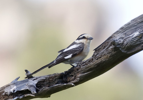 Masked Shrike_18-04-21