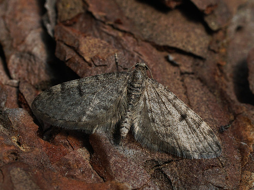 Eupithecia indigata - Ochreous pug - Цветочная пяденица сосновая