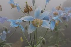 Meconopsis grandis ヒマラヤの青いケシ  (yukky89_yamashita) Tags: 京都府立植物園 京都 京都市 kyoto japan botanical garden 高山植物 flower plant