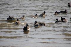 7K8A3564 (rpealit) Tags: scenery wildlife nature edwin b forsythe national refuge brigantine brant geese goose bird