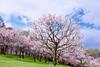 _NCL5701-Edit (chitoroid) Tags: nikond750 afsnikkor2470mmf28ged japan hokkaido sapporo flower