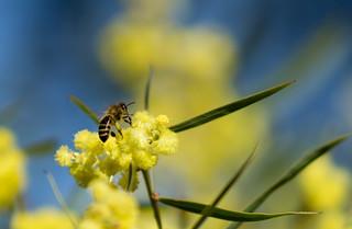Bee on a Golden Wattle