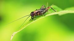 Rencontre - Meeting (Macroloupe) Tags: grillondesbois rencontre nemobiussylvestris meeting larve llll