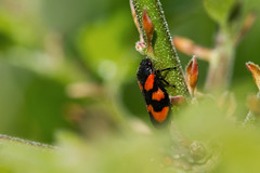 Red-and-black Froghopper (smir_001) Tags: redandblackfroghopper cercopisvulnerate common froghoppers homopterans hoppinginsects redandblack red black green froghopper cercopis vulnerate insecta insect insects invertebrates britishinsects may spring canoneos7d macro closeup nature fauna outdoor wildlife unitedkingdom brownsfolly brownsfollynaturereserve naturereserve britishnaturereserves avonwildlifetrust ukwildlifetrusts bathford bath somerset england spittlebugs cuckoospitinsects
