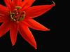 Red Passion 2 - Kula, Maui (Barra1man (Busy in the Garden)) Tags: redpassion2 redpassionflower red passion flower darkbokeh garden plant upcountry upcountrygarden kula maui hawaii unitedstates olympus olympusem1 iso800 lens300mm f561200