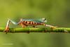 Super Tiger Legged Waxy Monkey Leaf Frog D75_7137.jpg (Mobile Lynn) Tags: amphibian frog supertigerleggedwaxymonkeyleaffrog nature captive fauna wildlife bournemouth england unitedkingdom gb coth specanimal ngc coth5 npc