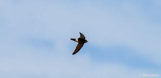 Andorinhão-pequeno | Little swift | Vencejo moro | Martinet des maisons (Apus affinis)