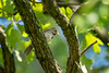 song sparrow (long.fanger) Tags: centreville virginia songsparrowmelospizamelodia