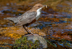 DSC2151  Dipper.. (jefflack Wildlife&Nature) Tags: dipper dippers birds avian animal animals wildlife wildbirds waterbirds waterways riverbirds rivers countryside nature