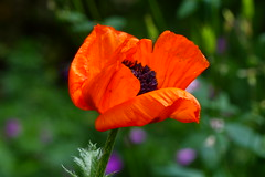 Blooming (ivlys) Tags: darmstadt minigarden garten mohnblume poppy blume flower blüte blossom rot red grün green natur nature ivlys
