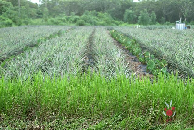 鳳梨、竹筍通通吃酵素長大,無農藥耕種 三竹居士 (14)