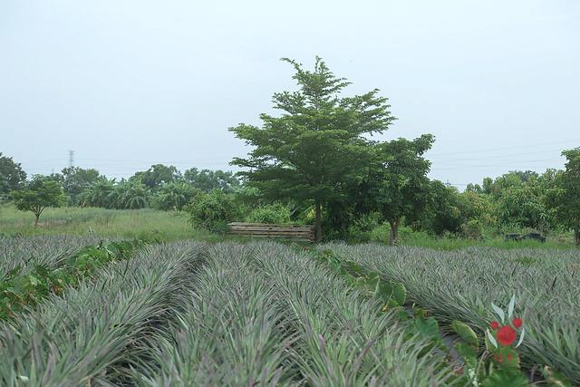 鳳梨、竹筍通通吃酵素長大,無農藥耕種 三竹居士 (6)