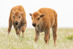 Pair of Bison calves