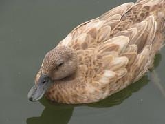 Such Duckery (jknob8) Tags: duck waterfowl brown green youtube canon powershot sx10 is bridge camera missouri park suson midwest auto nature