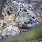 Snow leopard lying flat thumbnail