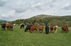 How now brown cow? (World of Izon) Tags: cow field grass mountains ambleside lakedistrict englishlandscape