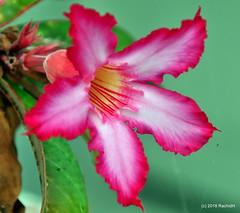 DSC_0406 (RachidH) Tags: flowers blossoms blooms desert rose desertrose adeniumobesum rosedudésert sabistar kudu azalea mockazalea impalalily lis lily lisdesimpalas carribean westindies antilles meadsbay anguilla rachidh nature