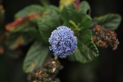 (andthensom) Tags: carmel monterey california pointlobos wildflower purple