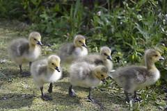 Just too adorable (moniquerebanks) Tags: goslings cute park adorable geese babygeese fluffy london uk nature closeup ganschen ganzen oison ansarino papero gansjes vogels birds natureatitsbest donzig outdoors