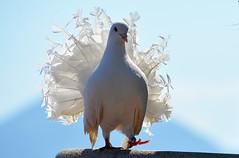 colombe paon Cannes France _9669 (ichauvel) Tags: colombepaon colombe dove oiseau bird beautédelanature beautyofnature exterieur outside ciel sky cannes alpesmaritimes côtedazur provencealpescôtedazur france europe westerneurope mai may printemps spring plumage feather getty