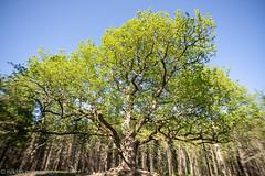 The Oak of Paavola (aixcracker) Tags: lohja lojo paavola oak ek tammi nikond800 may maj toukokuu spring vår kevät green grön vihreä suomi finland
