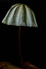Umbrella mushroom (Marasmius sp.) (pbertner) Tags: marasmiussp fungus rainforest amazon southamerica brazil backlighting mushroom palmarireserve