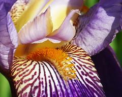 Z'ai un zefeu ssssur la langue … (Le.Patou) Tags: fleur flower iris printemps spring violet purple jaune yellow bouche mouth baiser kiss jardin garden yard maison home ouvert open