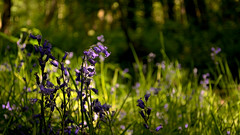 Withered Bluebells (Tom_Edwards05) Tags: geotagged geo:lat=5311343799 geo:lon=018642426 wildlife nature nikon d5200 2018 may tattershal carrs lincolnshire woodland trust woodlandtrust bluebells flower spring raf woodhall spa dambusters woods plant sunlight dying withered tom edwards tomedwards05 withering bokeh tomedwards afs dx vr zoomnikkor 1855mm f3556g