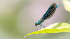 Dragonfly (Colin_Evans) Tags: dragonfly insect macro blue surrey