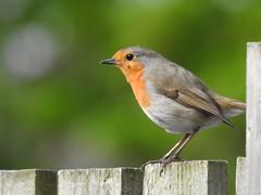 Robin on the fence (Simply Sharon !) Tags: robin bird britishwildlife wildlife gardenbird nature inthegarden gardenvisitor may