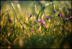 ... (sp1gau) Tags: nature flowers grass