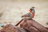 desert cardinal (jimmy_racoon) Tags: canon 400mm f56l 5d mk2 desert cardinal arizona bird nature prime pyrrhuloxia canon400mmf56l canon5dmk2 desertcardinal