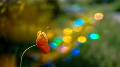 Poppy (YᗩSᗰIᘉᗴ HᗴᘉS +15 000 000 thx) Tags: poppy coquelicot flower flora fuji fujifilmgfx50s fujifilm hensyasmine namur belgium europa aaa namuroise look photo friends be wow yasminehens interest intersting eu fr greatphotographers lanamuroise tellmeastory flickering