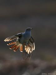 Cuckoo (Mike Mckenzie8) Tags: cuculus canorus british uk wild wildlife bird moor heath flight bracken fern