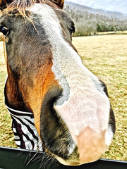"""""""Love America Style"""" (Halvorsong) Tags: horse horses farm rural country countrylife countryside roadside composition equine equestrian pasture wow explore discover nose closeups portrait america americana fun farmland ranch"""
