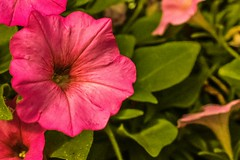 This afternoon... (Platoesq) Tags: nikonphotography naturephotography digitalphotography flowers lightroom