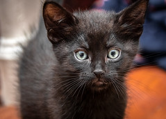 Adoption Day (helenehoffman) Tags: feline pet purrcival kitten cute cat animal