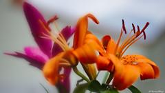 Printemps (VincenzoGhezzi) Tags: primavera springtime printemps flowers fiori colors nature