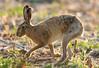 European Hare Lepus europaeus 099-1 (cwoodend..........Thanks) Tags: warwickshire wildlife hare europeanhare lepus leporid lepuseuropaeus