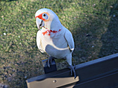 2018 Centennial Park Sydney: Who's a Cheeky Boy? (dominotic) Tags: 2018 centennialpark publicpark green nature cockatoo bird sydney nsw australia sundaylights newsouthwales