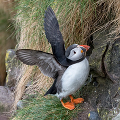 Puffin 05-May-18 G 009 (gomo.images) Tags: 2018 aberdeenshire bird country nature puffin rspbscotlandfowlsheugh scotland stonehaven years