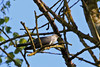Cuckoo (Karen Roe) Tags: lakenheathfen rspb lakenheath fen nature reserve naturereserve suffolk county england britain uk unitedkingdom greatbritain gb canoneos760d canon 760d 150600mm sigma zoom contemporary wildlife may 2018 peaceful quiet tranquil outside spring weather season camera photography photograph photographer picture image snap shot photo karenroe female flickr visit visitor royal society protection birds member