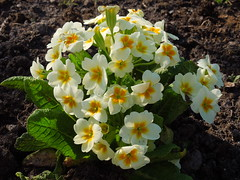 White Primula (cloversun19) Tags: primerose whiteprimerose russia flowers summer yelllow branch sky tree nature garden grass bright sun country green morning day sunnyday landskape travel positive someday petals petal beauty glory fairytale happy blooming blossoming blossom bloom flowering summerimages summerpicture flowerimages ground flowerbed dew springcolor spring color rock